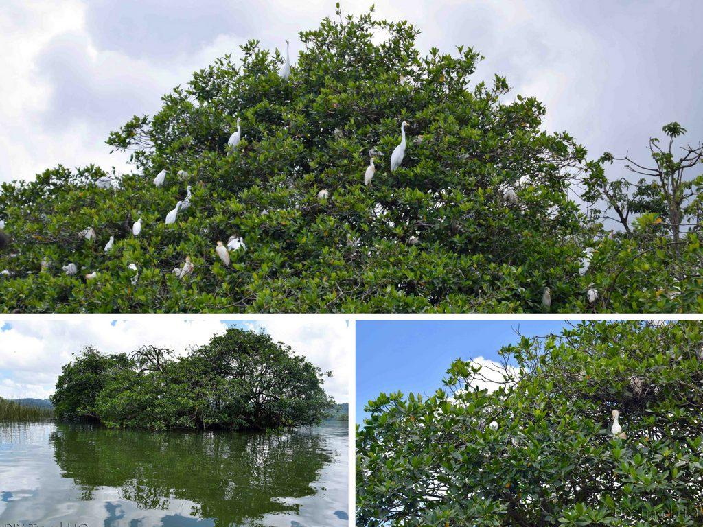 Rio Dulce Boat Tour Nesting Cormorants & Pelicans