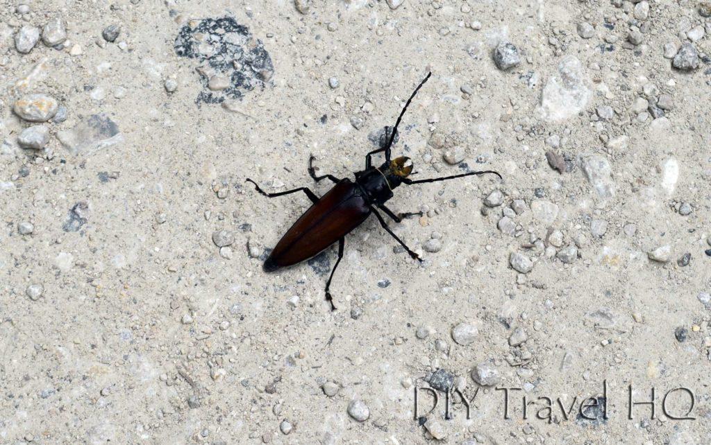 Tikal Nature Beetle