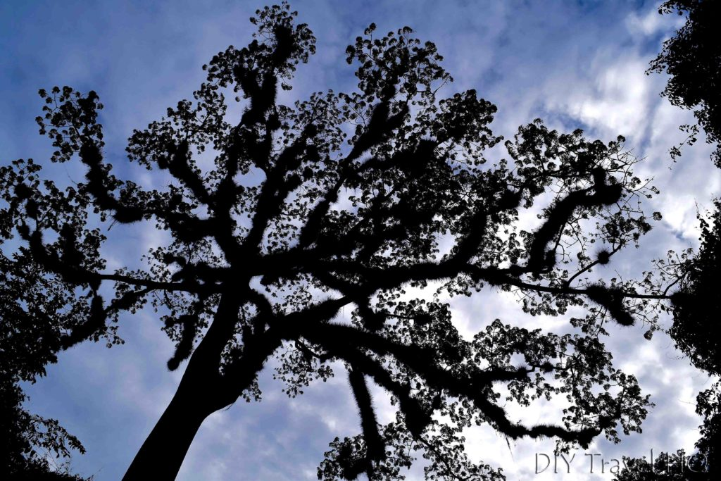 Tikal Nature Ceiba Tree