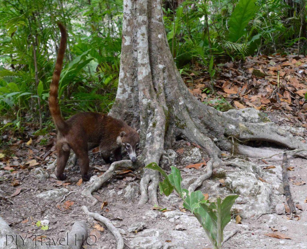 Tikal Nature Coatis Near Temple IV