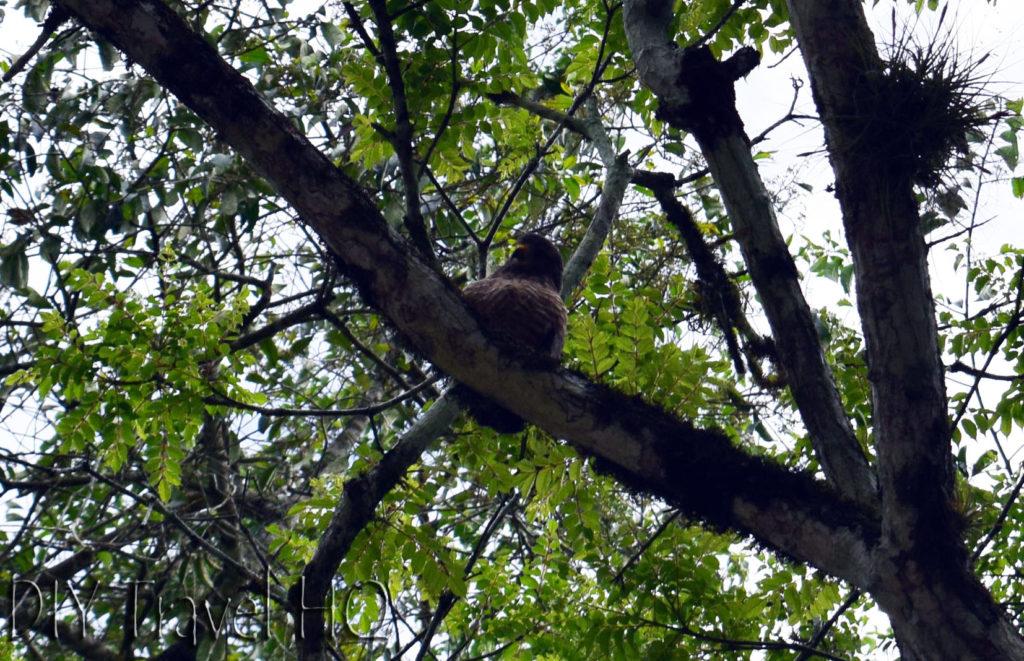 Tikal Hawk