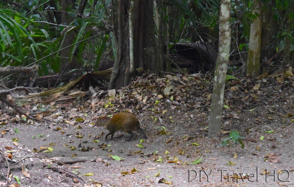 Tikal nature Peccary