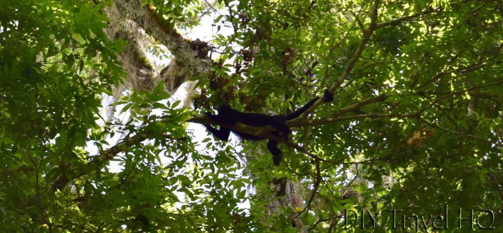 Tikal Spider Monkey Near Temple 38
