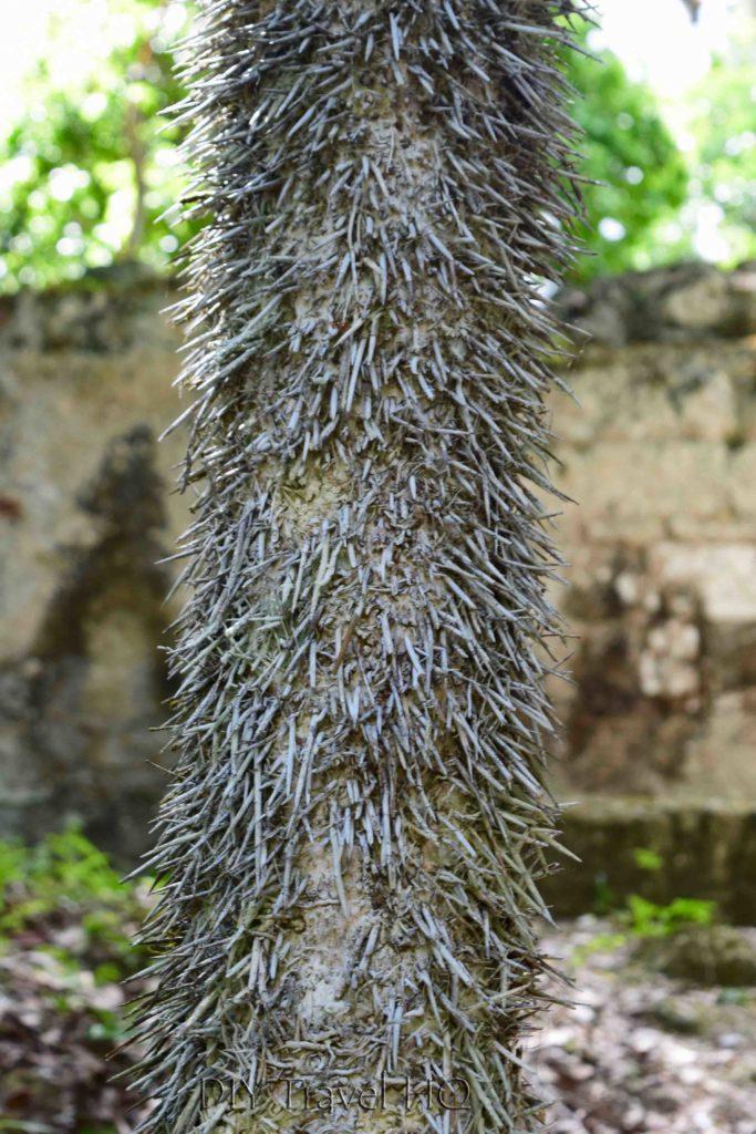 Tikal Thorn Palm Escobo