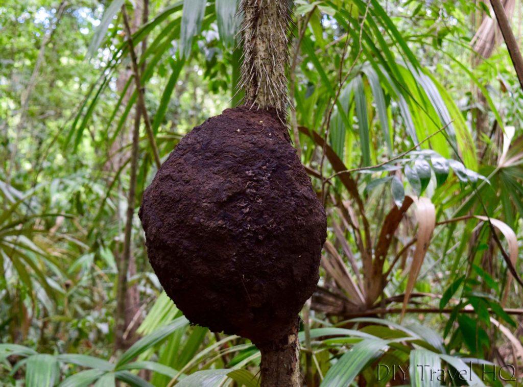 Tikal Escobo Palm and Termite Nest