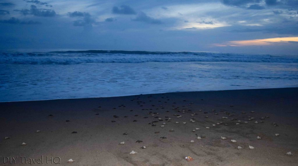 Olive Ridley baby turtles head to sea