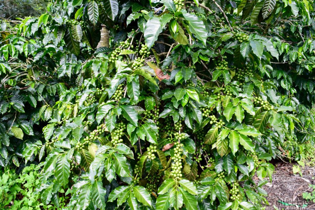 Coffee Plant on DLG tour