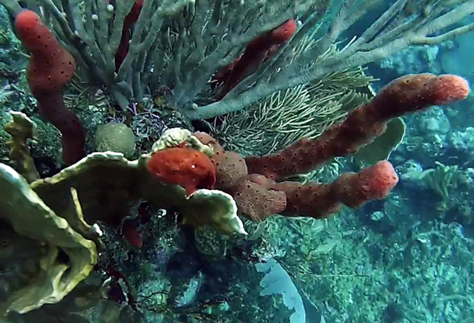 Frogfish Utila Diving
