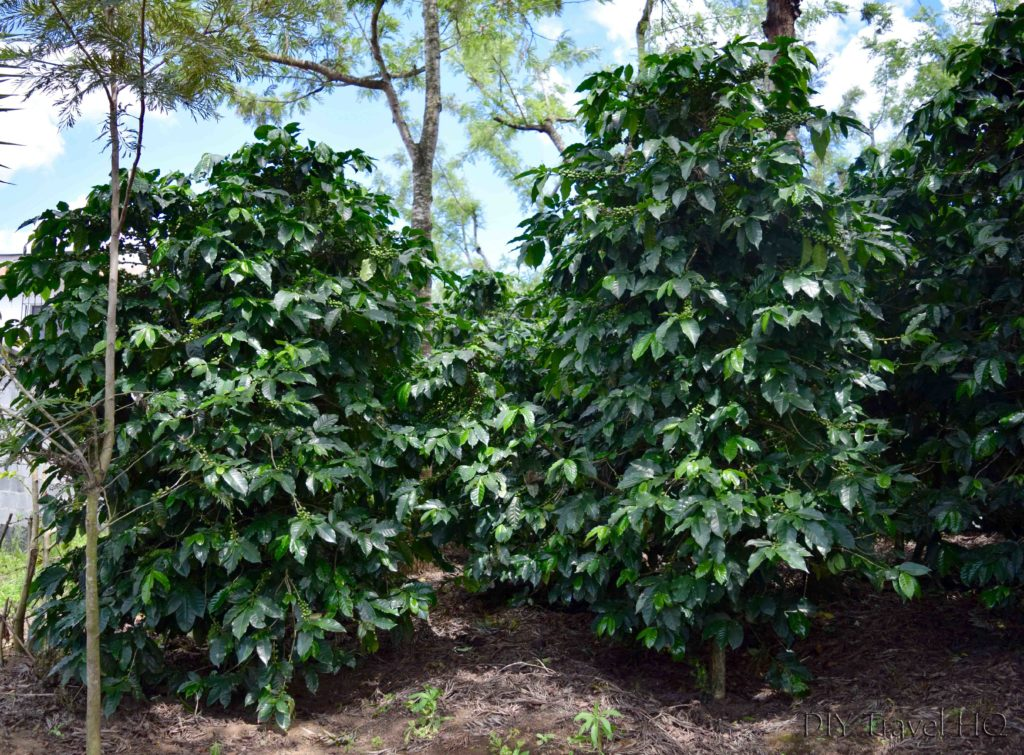 Sneaking Through Coffee Plants