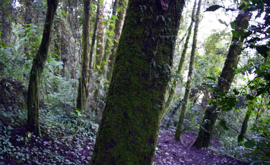 Volcan San Pedro Trees