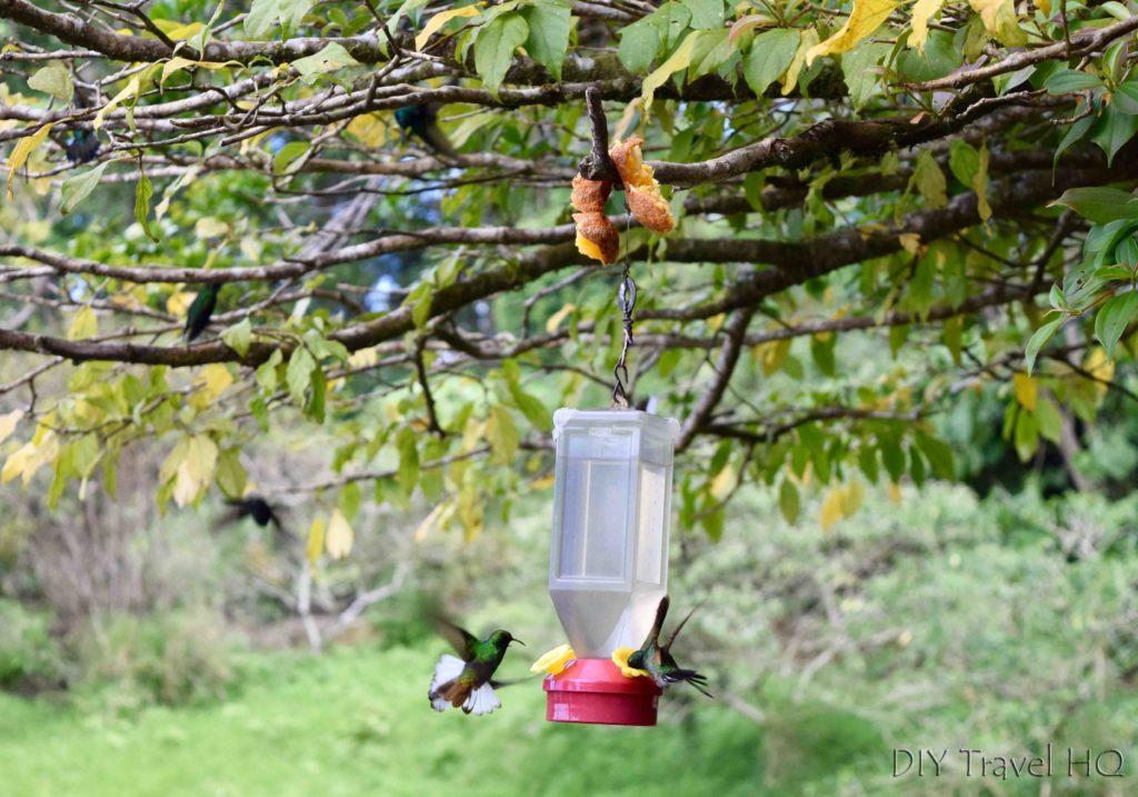Hummingbird Curi Cancha