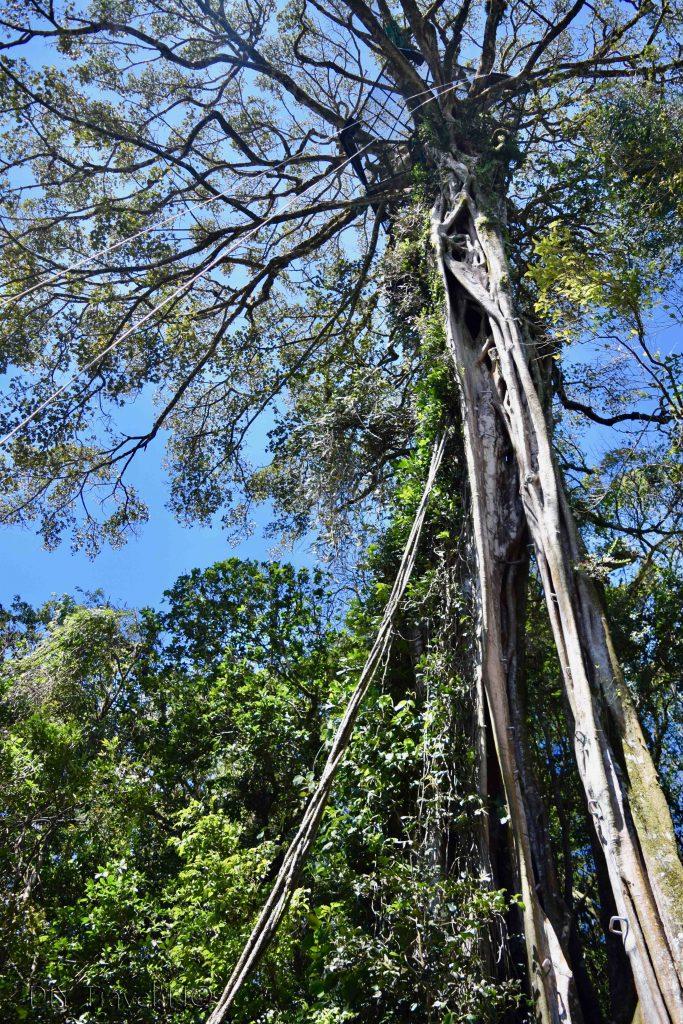 Fiscus tree Monteverde