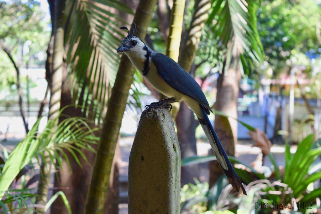 Urraca Bird