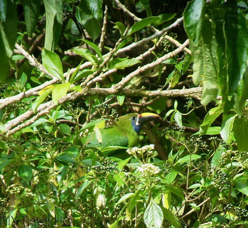 Toucan Curi Cancha