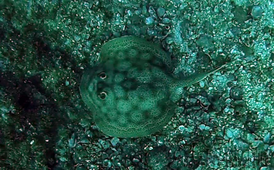 Ray at Virador Dive Site