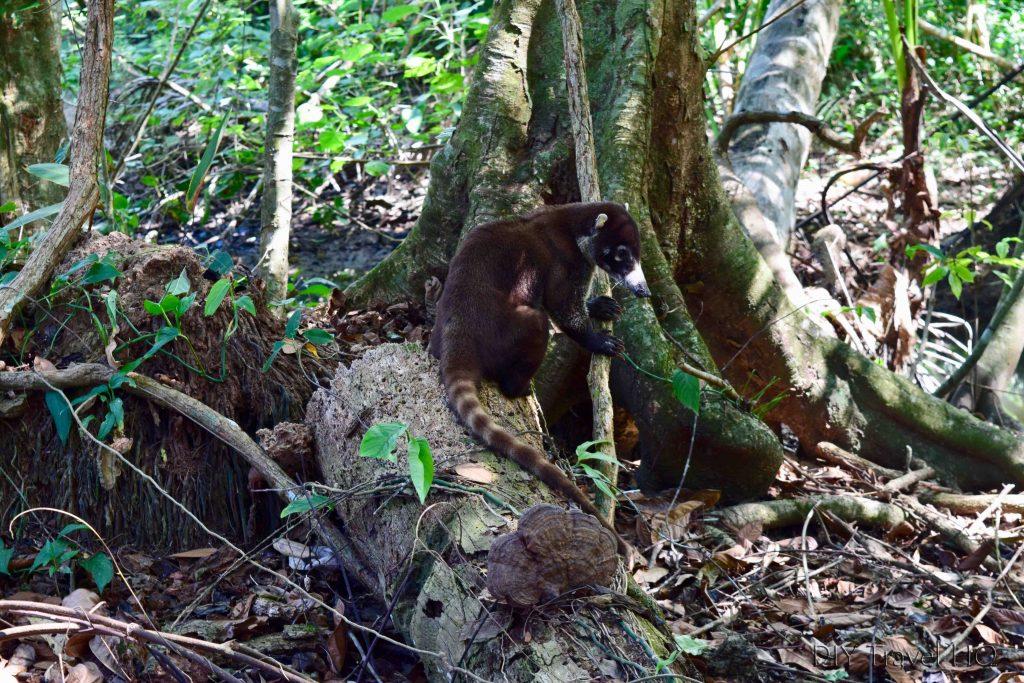 Coati Costa Rica