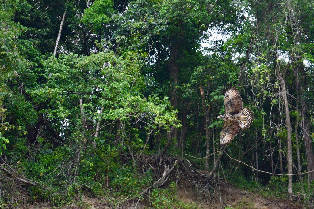 Hawk Corcovado