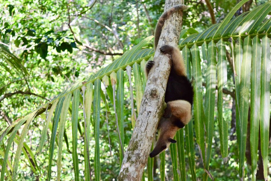 Anteater Corcovado