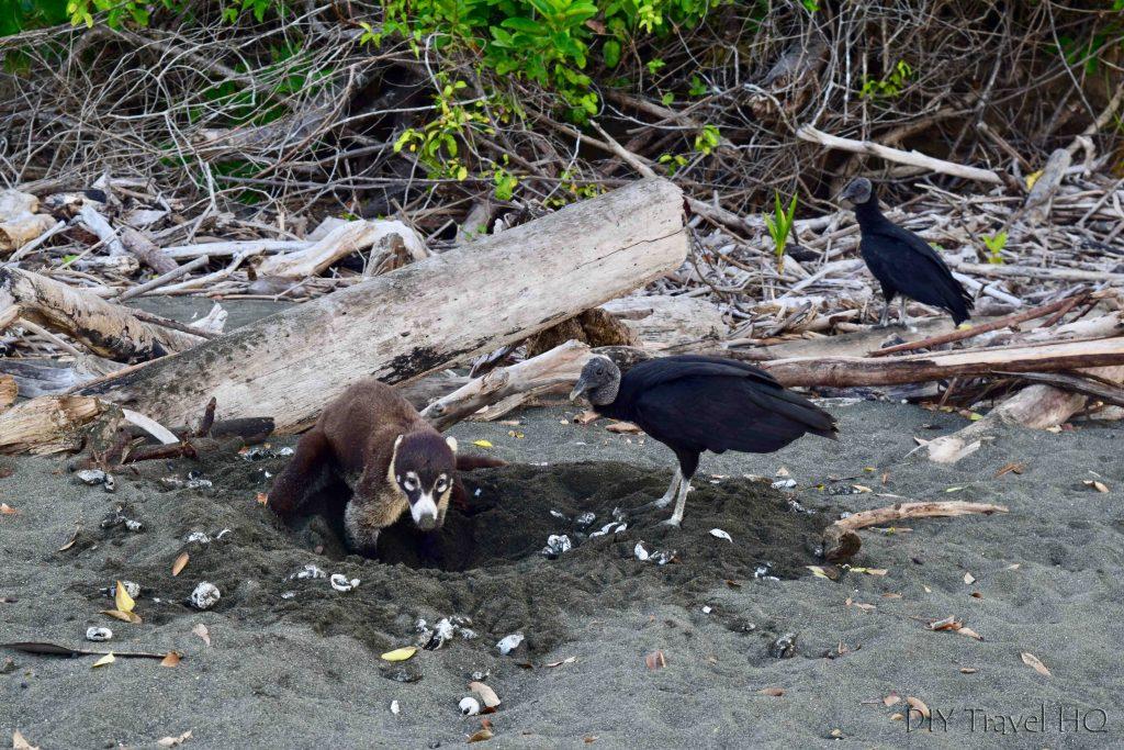Coati & vultures