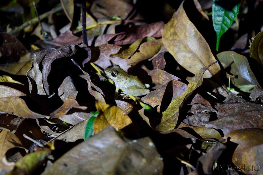 Frog in Manuel Antonio