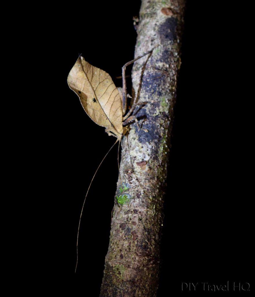 Leaf-Mimic Katydid!