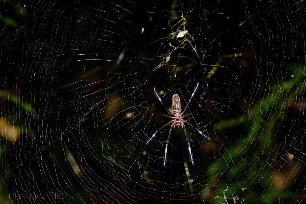 Spider Manuel Antonio