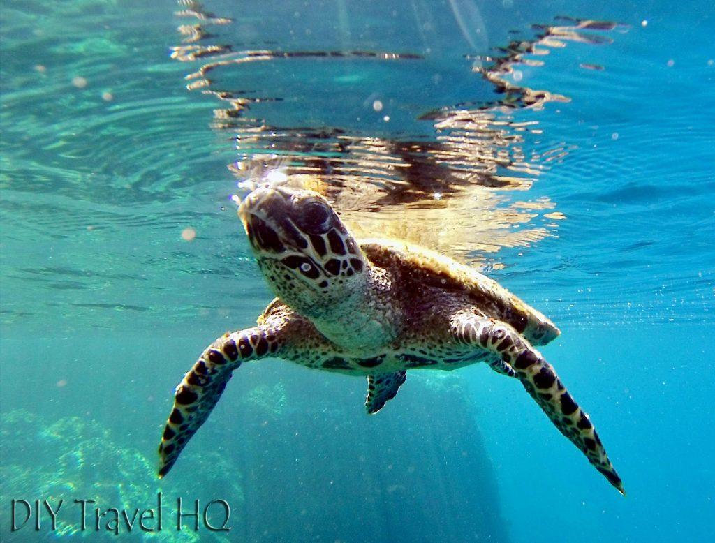 Green turtle snorkelling