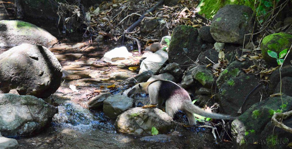 Anteater in river