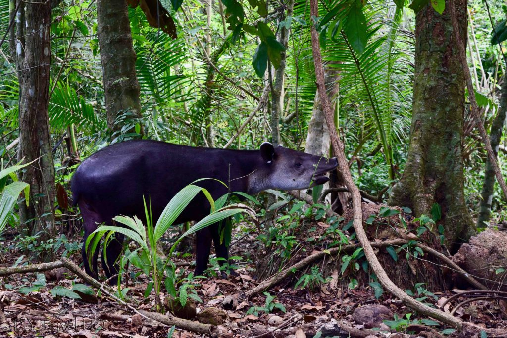 Tapir eating Corcovado