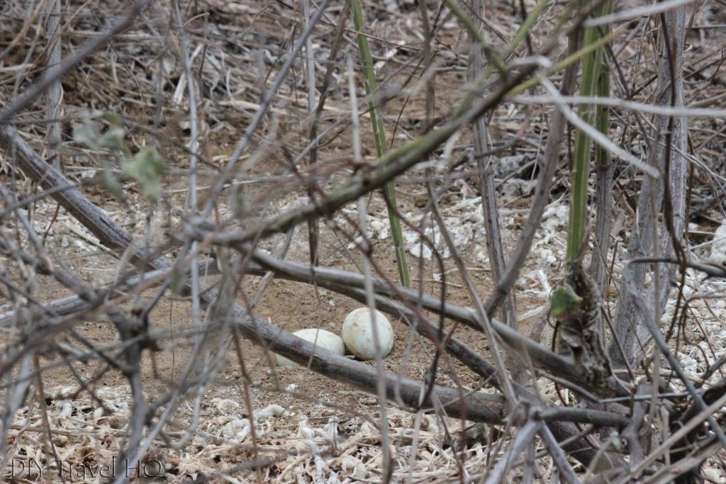 Blue footed booby eggs