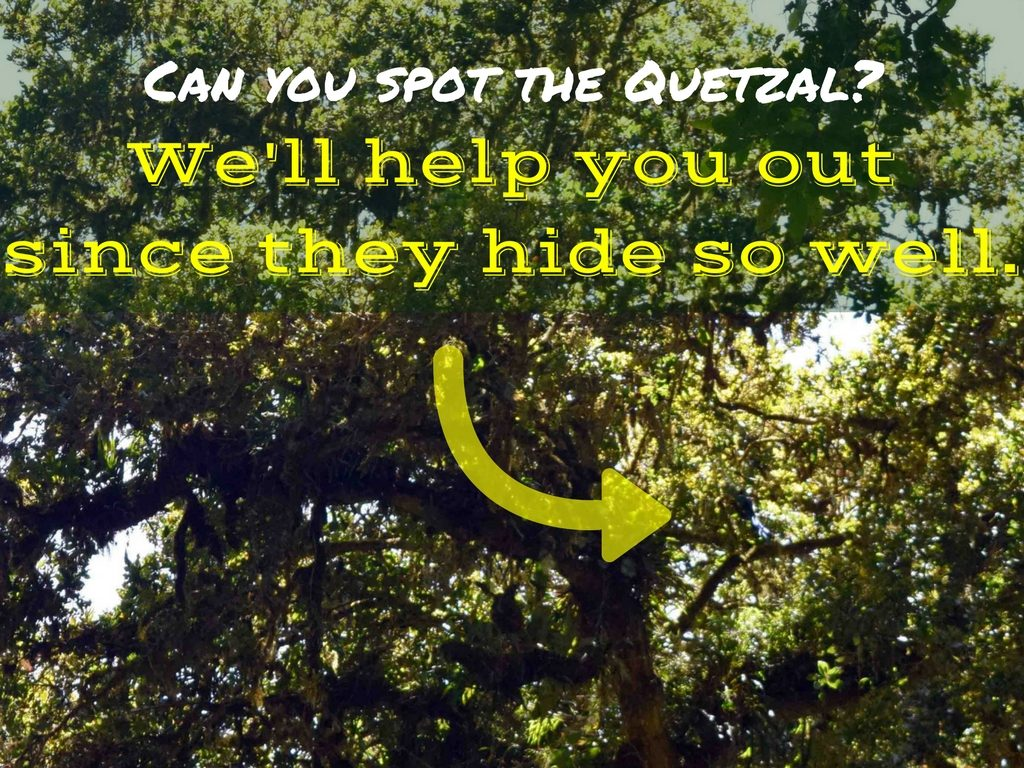 Can you spot the Quetzal-We'll help you out since they hide so well.