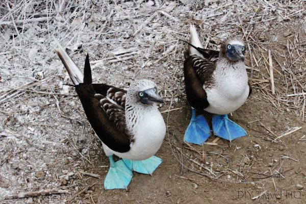 Isla de la Plata Tour: See Blue Footed Boobies!