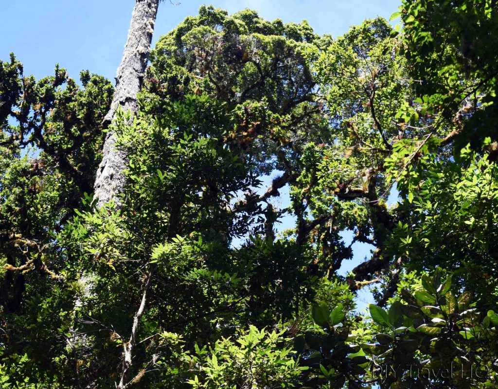 Sendero Los Quetzales Moss Covered Trees