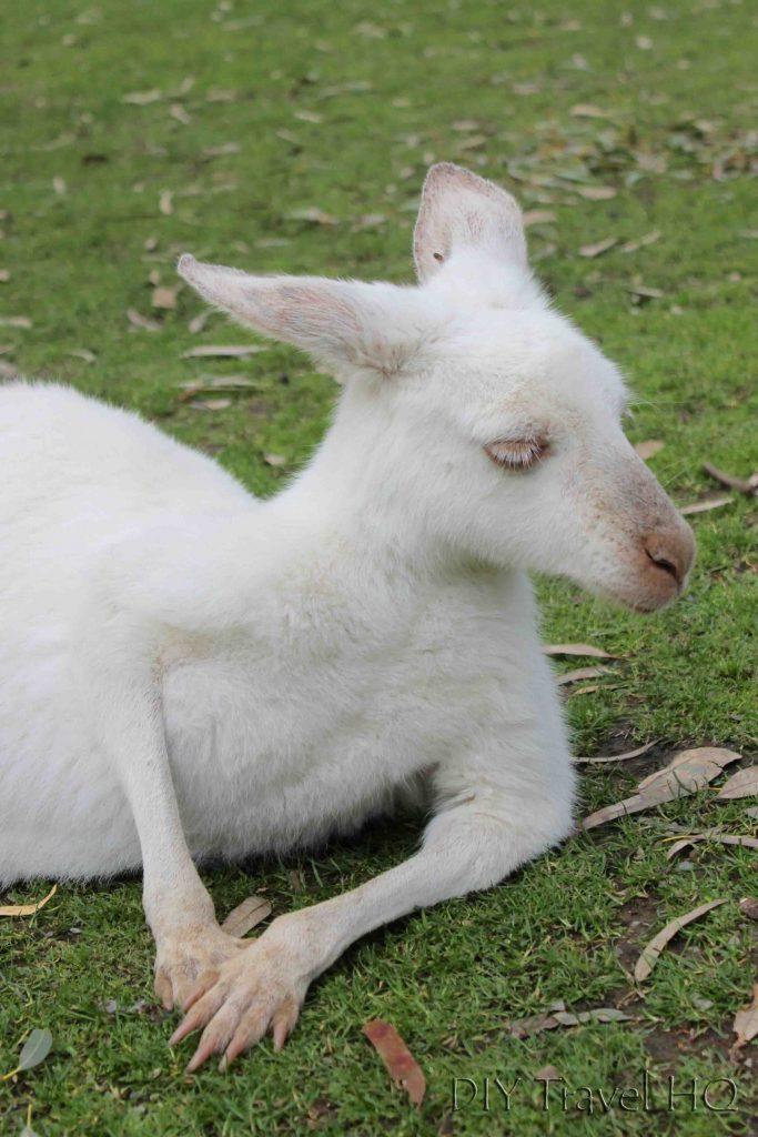 Albino Kangaroo Australia