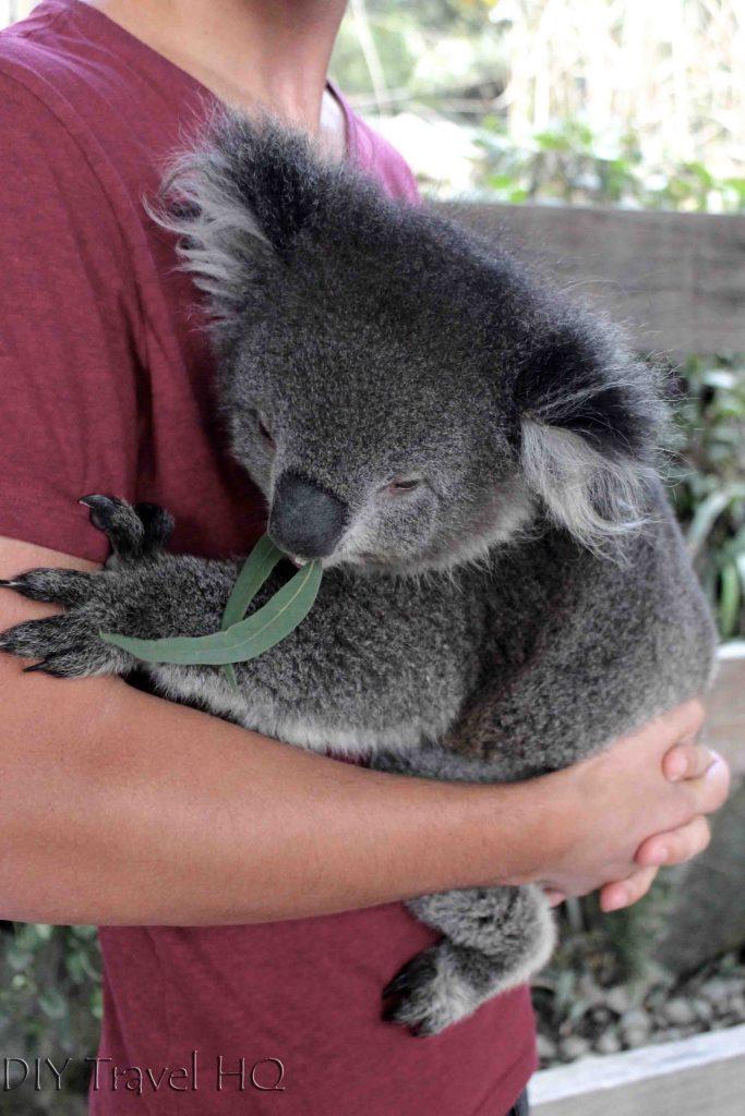 Where to cuddle a koala