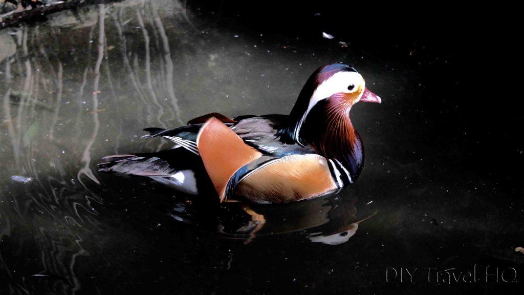 Mandarin Duck Australia