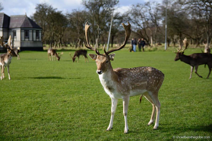 Deers at Phoenix Park Dublin