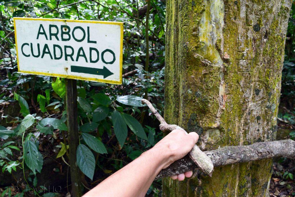 El Valle de Anton Panama Square Trees