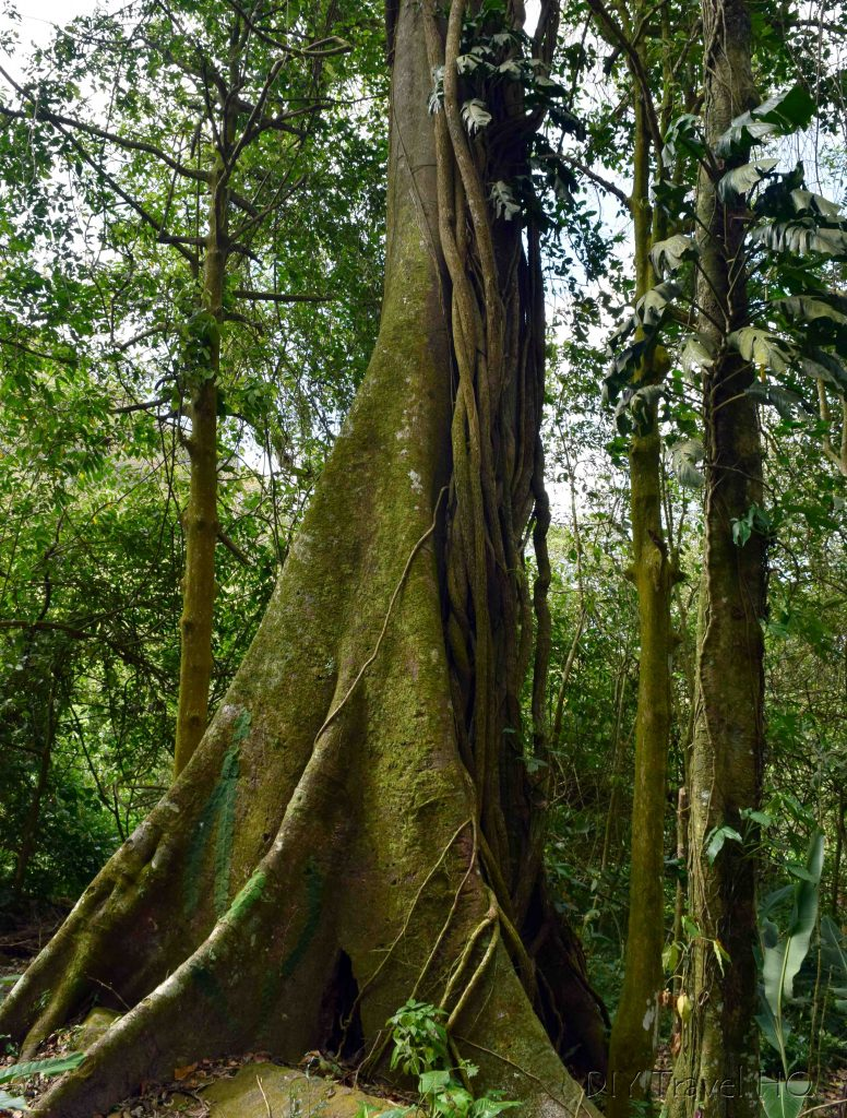 El Valle de Anton Square Tree Forest