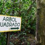 How to Visit the Square Trees of El Valle de Anton, Panama