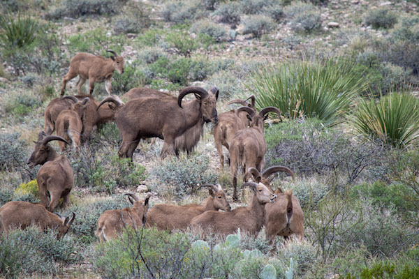 Barbary Sheep at Carlsbad Caverns