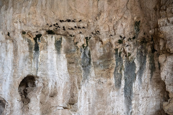Bats hanging from cave entrance at Carlsbad