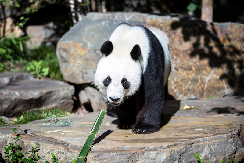 Panda at Adelaide zoo - Things to do in Adelaide with kids