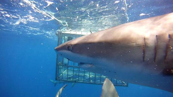 Shark face in front of diving cage - Unique things to do in Oahu