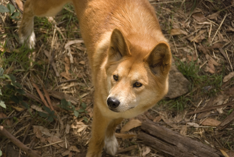 Dingo at Cleland - Adelaide attractions
