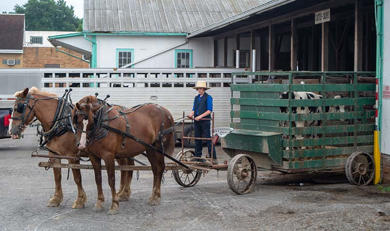 Amish Livestock Horse Drawn Cart