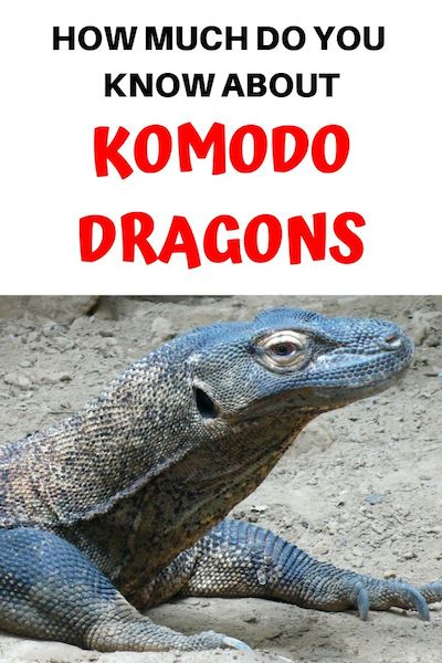 13 Interesting Facts About Komodo Dragons - DIY Travel HQ