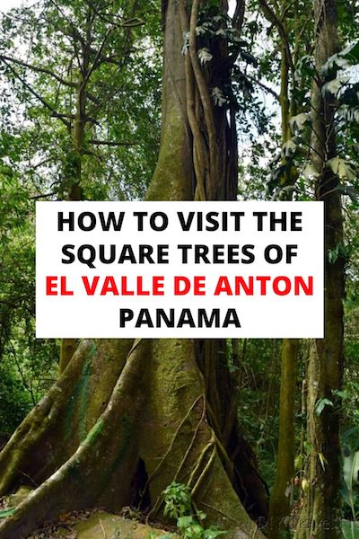 The squares trees are the most unique attraction in El Valle de Anton, Panama. Check out our post to find out how to get there and how they formed their unusual shape... #elvalledeanton #panama #panamatravel #atlasobscura