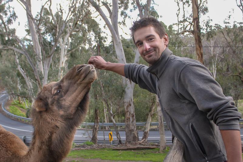 Hand Feeding Camel