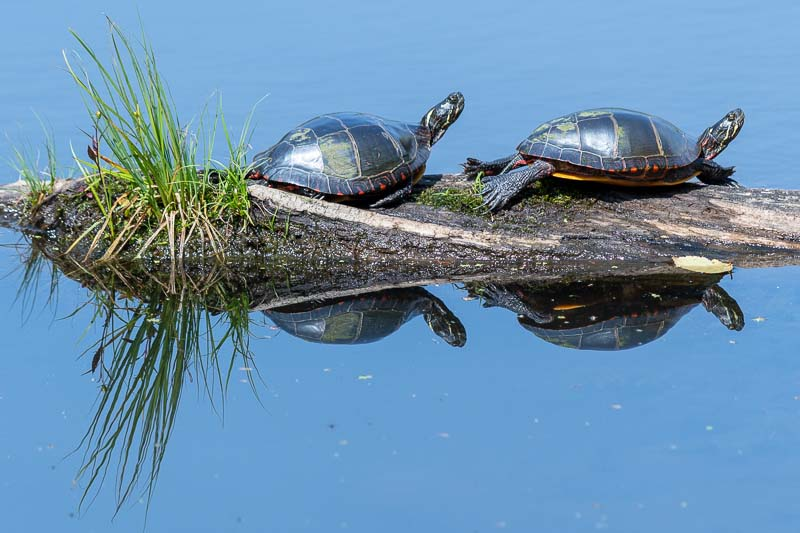 White Memorial Conservation Center Ongley Pond Turtles